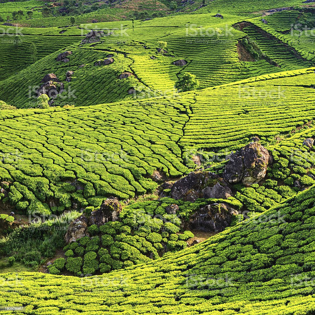 Aerial view of tea plantation in India, Asia stock photo