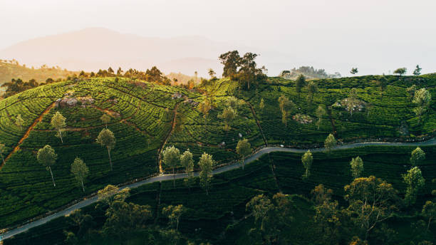 Aerial view of tea plantation in Sri Lanka Scenic aerial  view  of tea plantation in Sri Lanka  at sunrise tea crop stock pictures, royalty-free photos & images