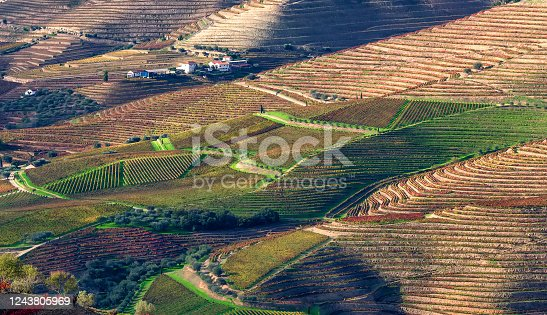 Aerial view of the terraces of vineyards and olive trees in the Douro Valley near the village of Pinhao, Portugal, Europe