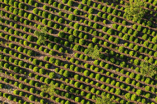 Vue aérienne de l'arbre plantation - Photo