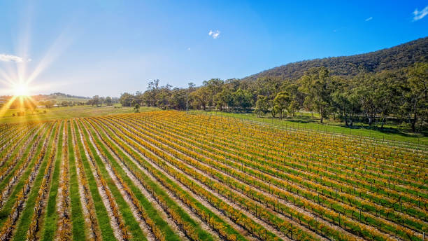 Aerial view of vineyard in Autumn stock photo