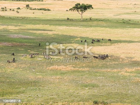 1137909085 istock photo Aerial view of zebra in bush grasslands in Delta Okavango, Botswana, Africa 1084989118