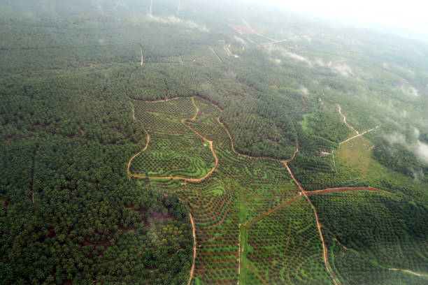 Aerial View Oil palm plantation in Aceh Indonesia Aerial View Oil palm plantation in Aceh Indonesia palm oil stock pictures, royalty-free photos & images
