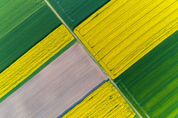 Aerial view on colza field Aerial view on the large yellow colza field brassica rapa stock pictures, royalty-free photos & images