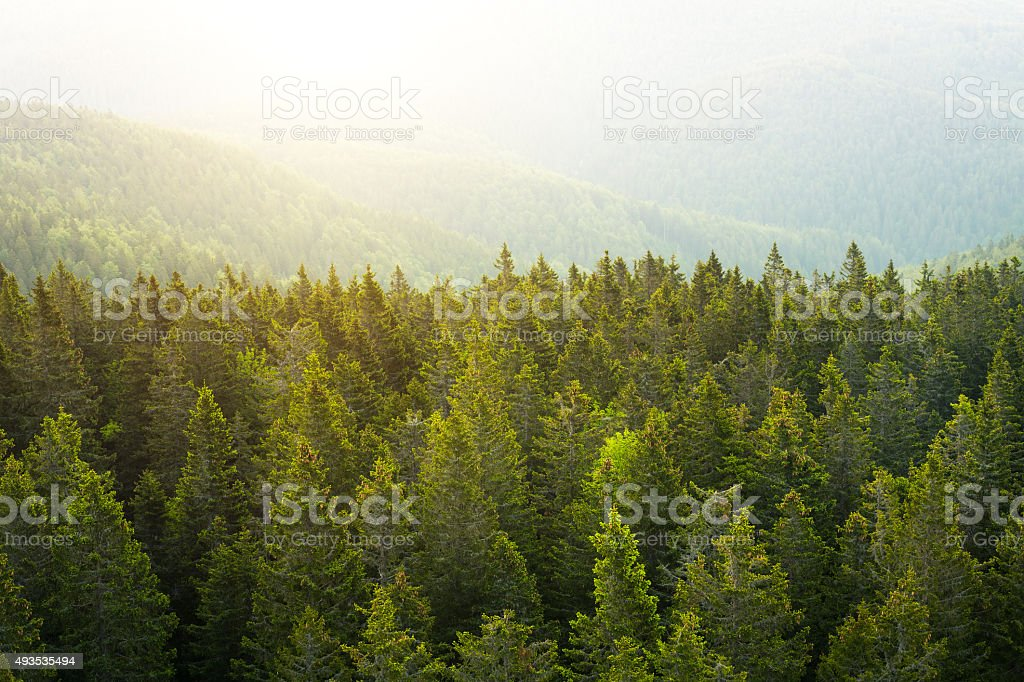 Aerial View On Pine Forest At Sunrise stock photo
