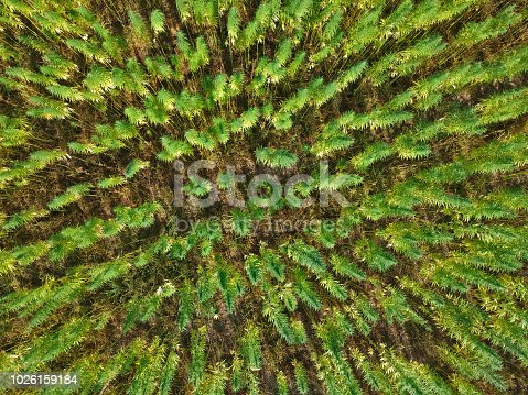 Aerial view on rows of marijuana weed field