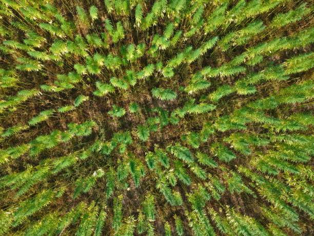 aerial view on rows of marijuana weed field. - пенька стоковые фото и изображения