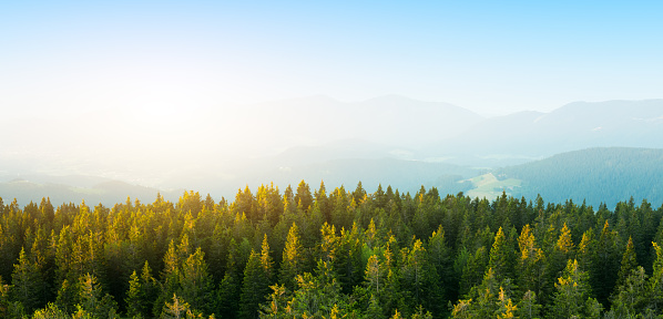 Aerial view on green pine forest illuminated by the morning sunlight. Panoramic image.