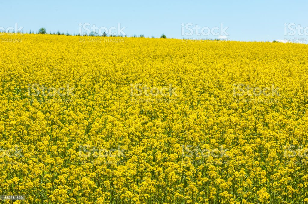 Aerial view on the large colza field. stock photo