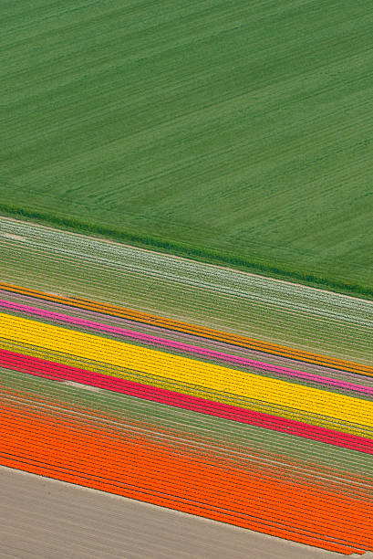 Aerial view on Tulip fields growing in spring in Holland​​​ foto
