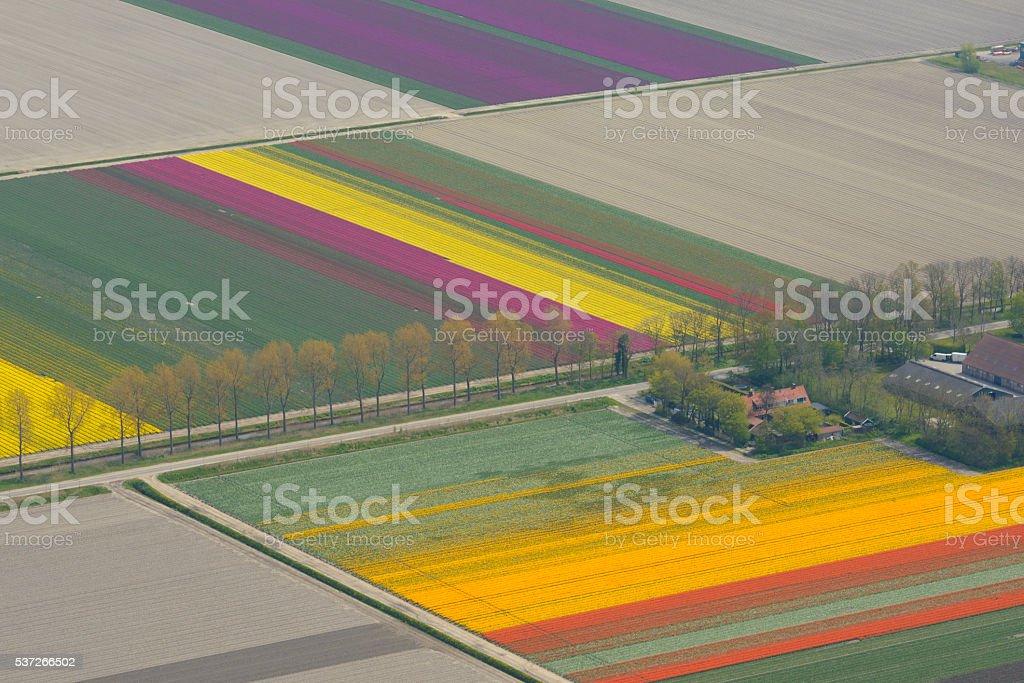 Aerial view on tulip flowers fields growing in spring foto