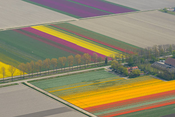Aerial view on tulip flowers fields growing in spring​​​ foto