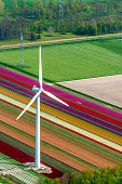 Aerial view of wind turbines on the coast in front of various colors of tulip flower field growing in The Noordoostpolder in Flevoland, The Netherlands. Each year during spring different areas in Holland are colored vividly by growing flower bulbs.