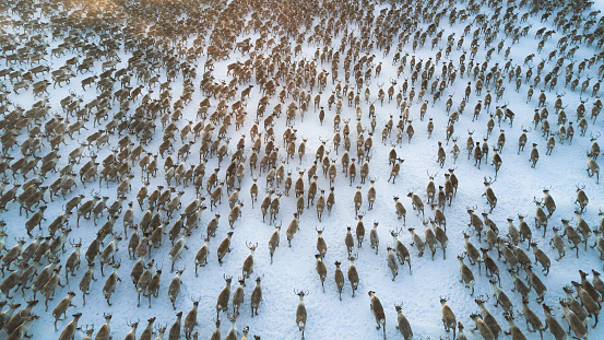 aerial view or over 3000 reindeer running in a tundra.\nbig herd of reindeer scattered running all in a same direction taking a slight turn to the right.