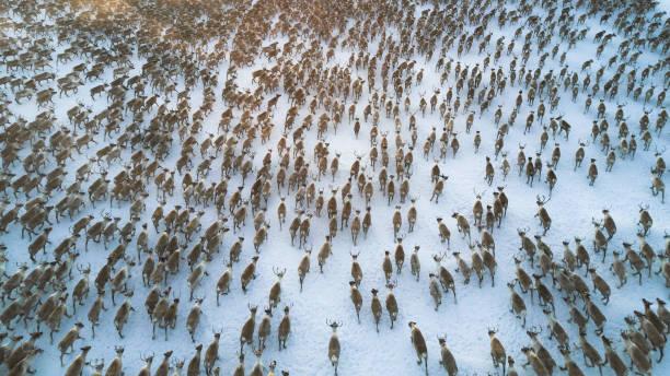 luchtfoto of meer dan 3000 rendieren uitgevoerd in een toendra - rendier stockfoto's en -beelden