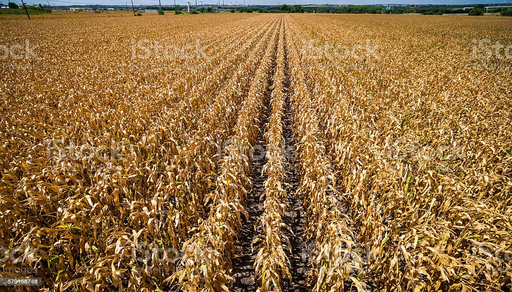 Aerial View Over Cornfield during Drought stock photo