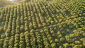 Aerial photo over a macadamia plantation in the mpumalanga province of south africa