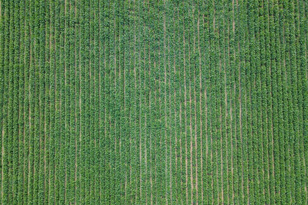 Aerial view soybean field. Young Soybean Aerial View. Aerial view soybean field. Young Soybean Aerial View. monoculture stock pictures, royalty-free photos & images