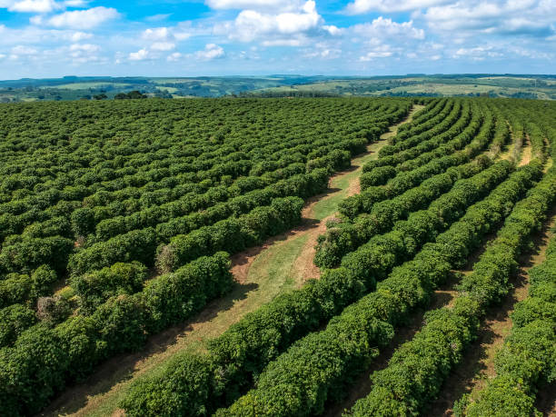 aerial viewof green coffee field in Brazil stock photo