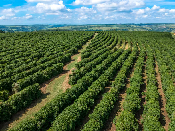 lucht viewof groene koffie veld in brazilië - plantage stockfoto's en -beelden