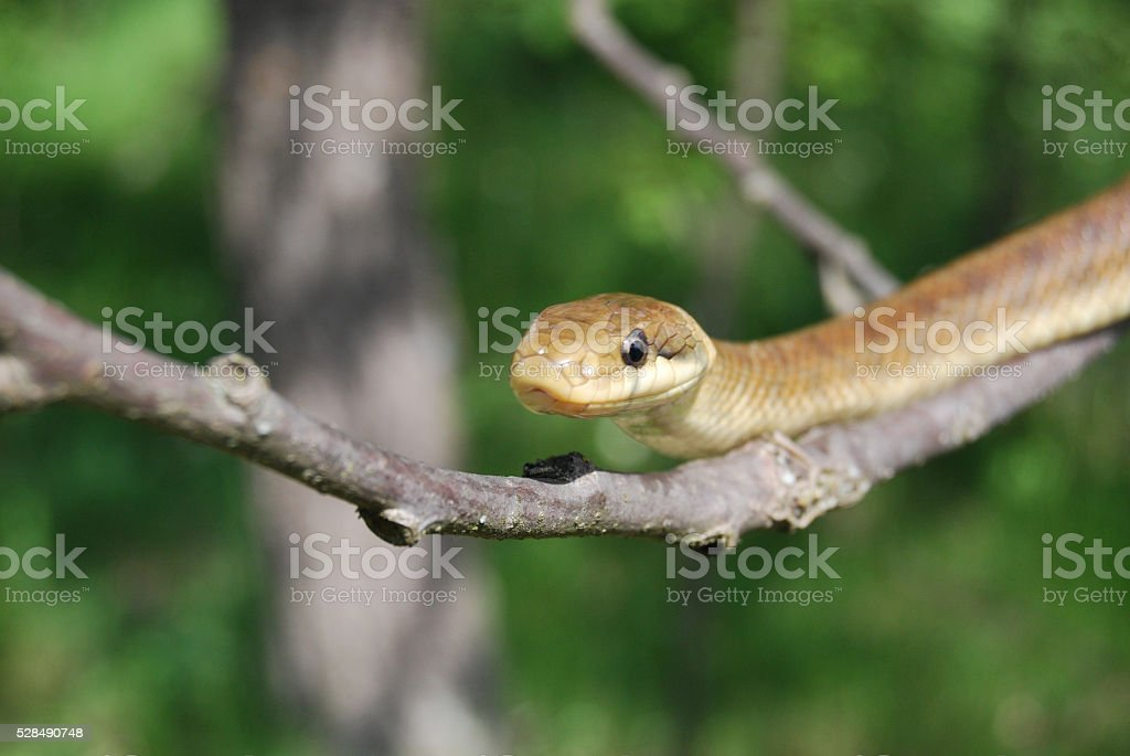 Aesculapian snake (Zamenis longissimus) stock photo