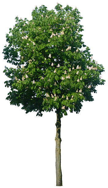 Aesculus hippocastanum 'Baumannii' or horse chestnut tree isolated on white stock photo