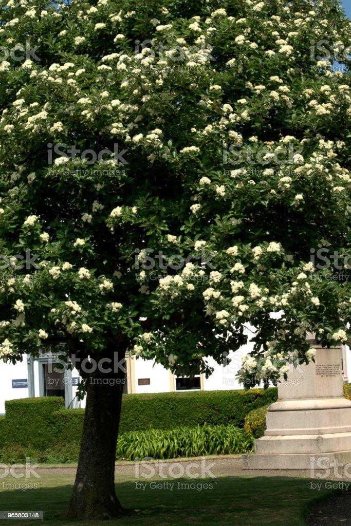 Гиппокапанум, Конский каштановый цветок, белый - Стоковые фото Без людей роялти-фри
