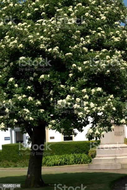 Гиппокапанум Конский Каштановый Цветок Белый — стоковые фотографии и другие картинки Без людей