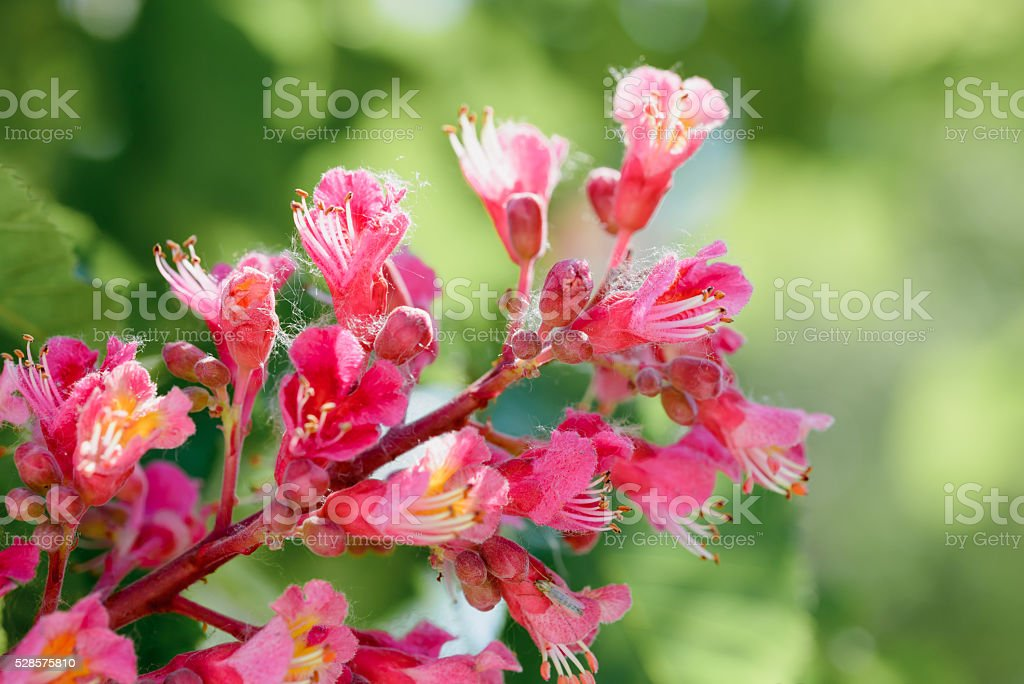 Aesculus x Carnea, or Red Horse-chestnut Flower stock photo