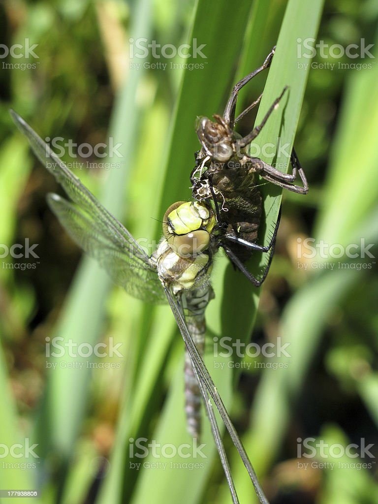 Aeshna cyanea royalty-free stock photo