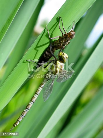 female southern hawker, Aeshna cyanea, dragonfly just emerged from the nymph-cuticle