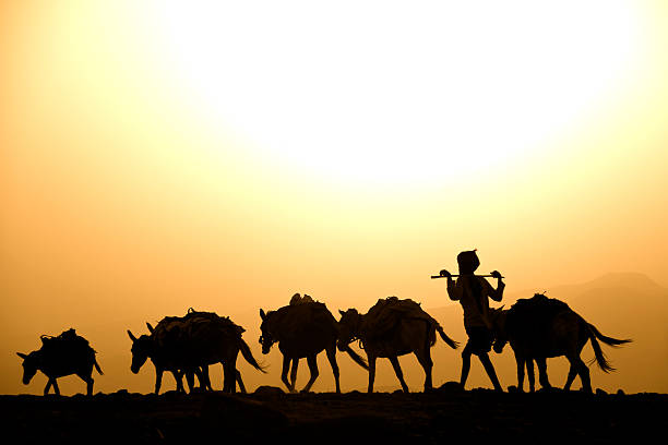 afar herder with his mules against the sunset, danakil desert - eritrea stock photos and pictures