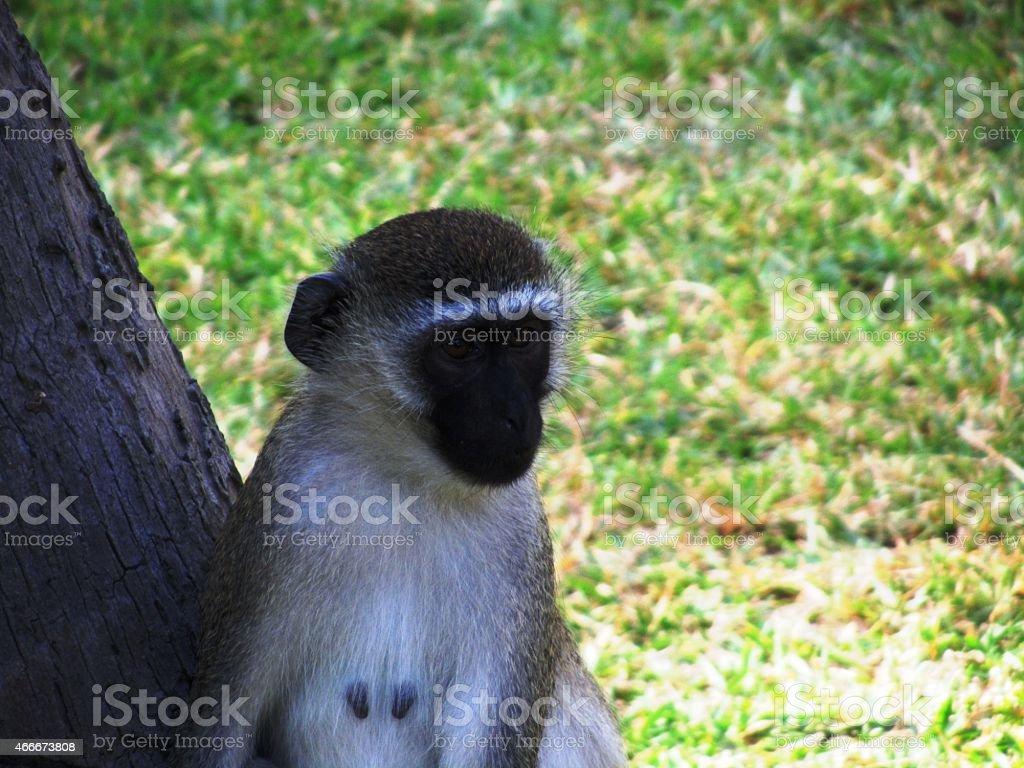 Affe -  Südliche Grünmeerkatze - Vervet monkey - Kenia stock photo