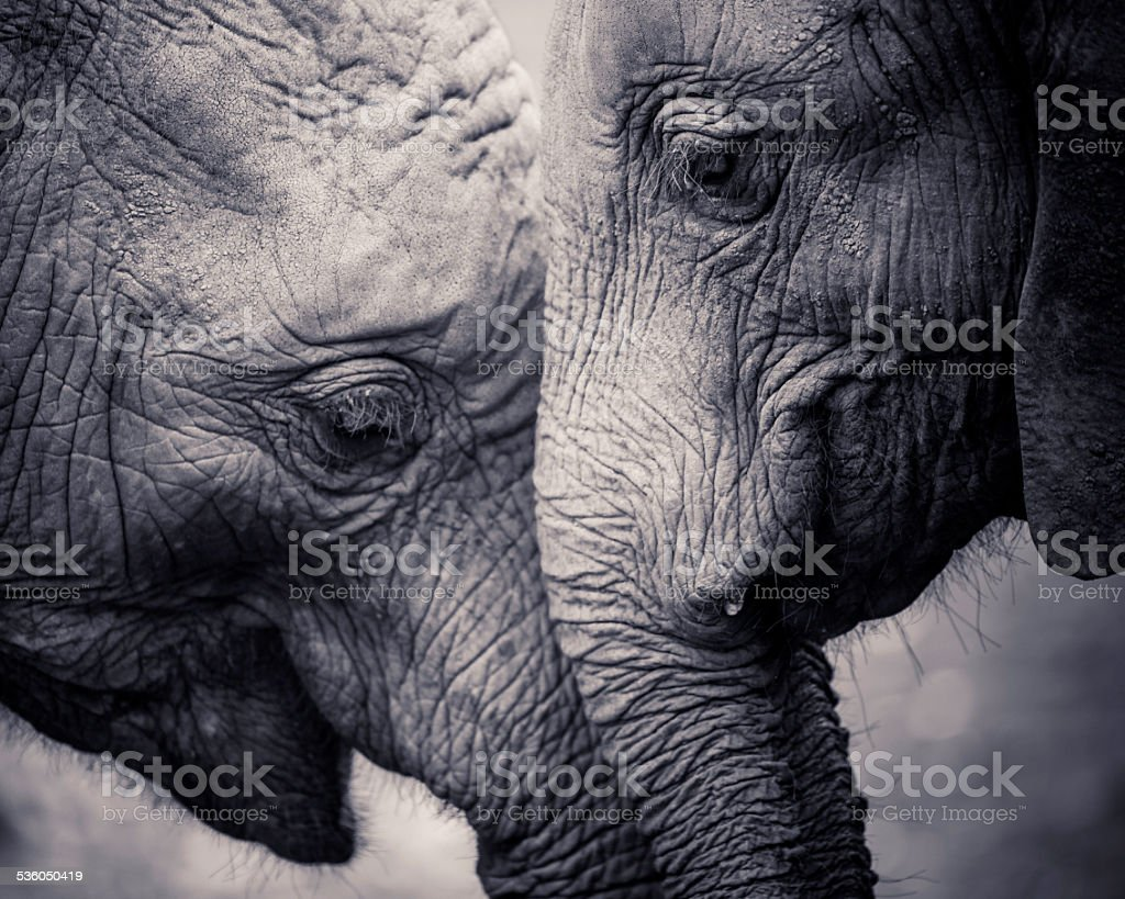Affection of Elephants stock photo