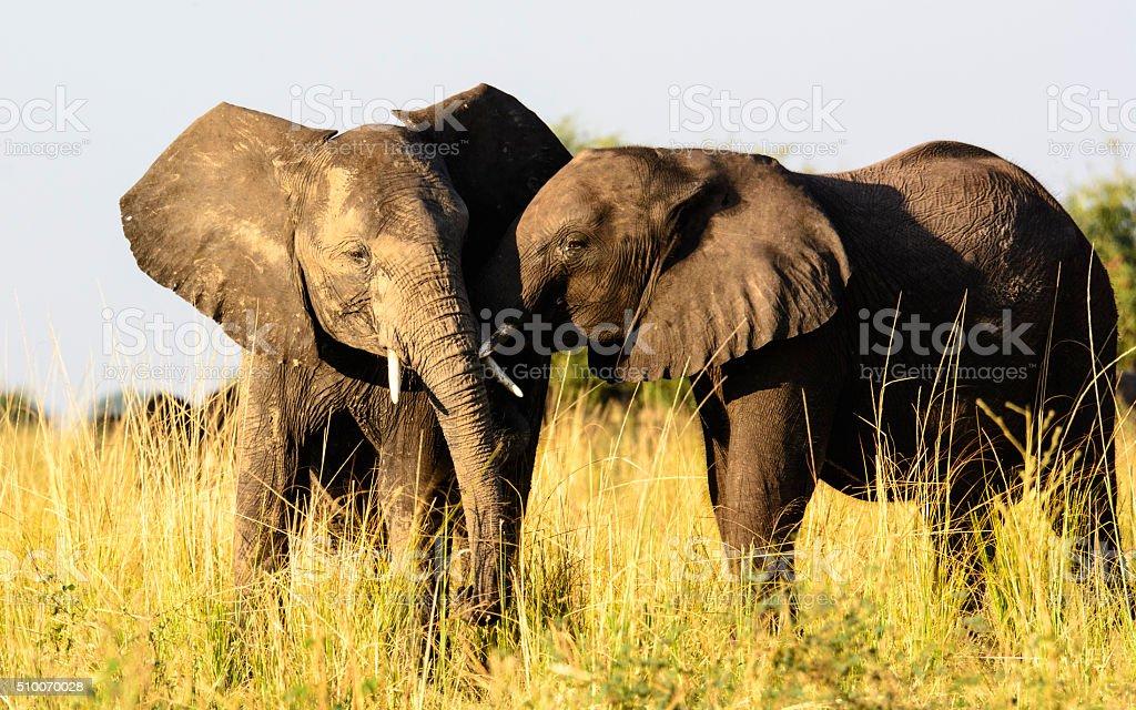Affectionate elephants stock photo