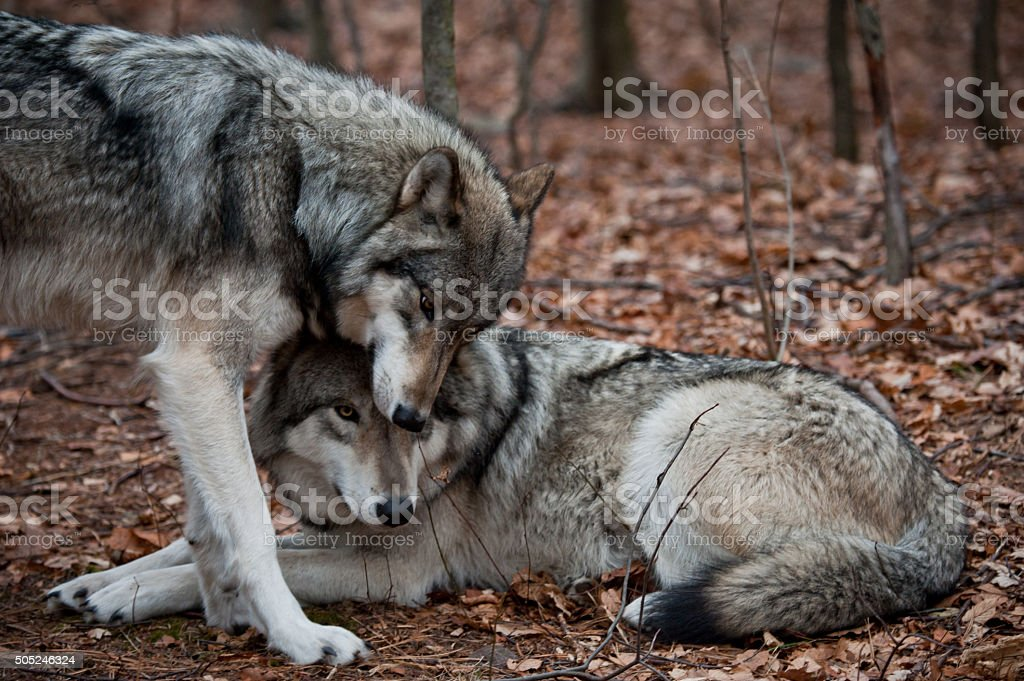 Affectionate Grey Wolves stock photo