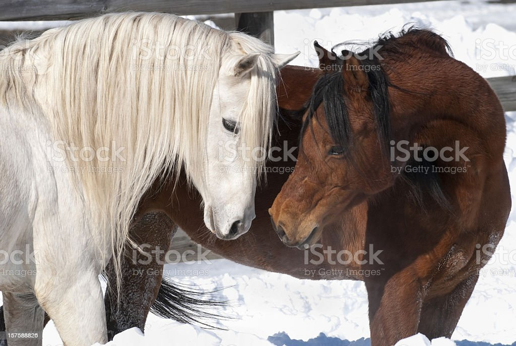 Affectueux chevaux, Courtship comportement en arabe paire de reproduction - Photo