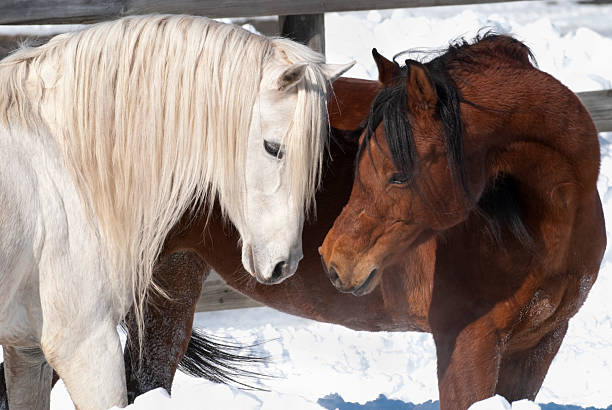 Affectionate Horses, Courtship Behavior in Arabian Breeding Pair stock photo