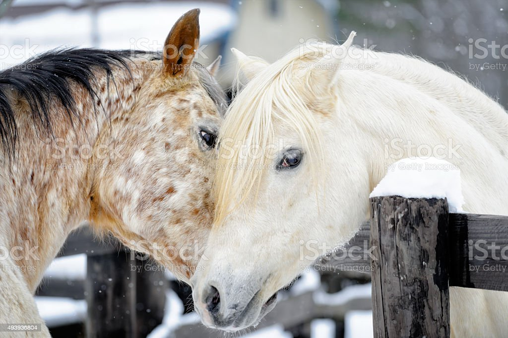 Affectionate Horses Touching at The Fence, Friendly Nuzzle stock photo