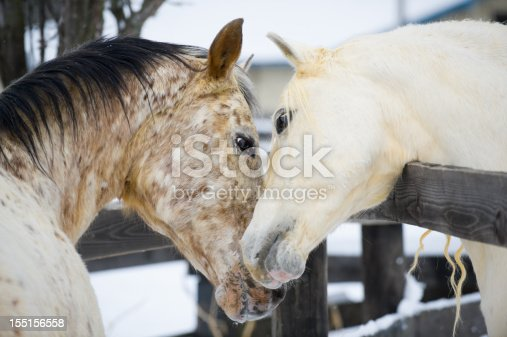 Two horses showing affection and closeness while touching and smelling, necking, a white Arabian stallion and a spotted Appaloosa mare getting acquainted in courtship behavior, farm animals in Pennsylvania, PA, USA.
