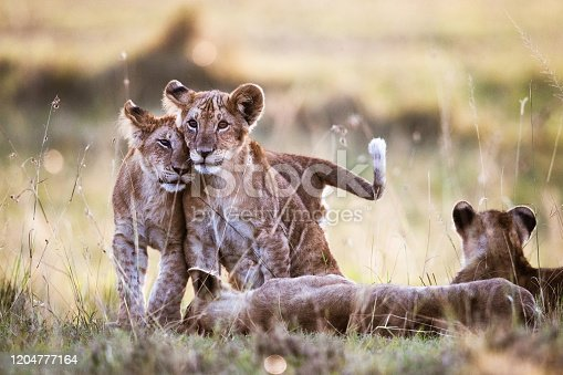 Loving lion cubs in the wild.