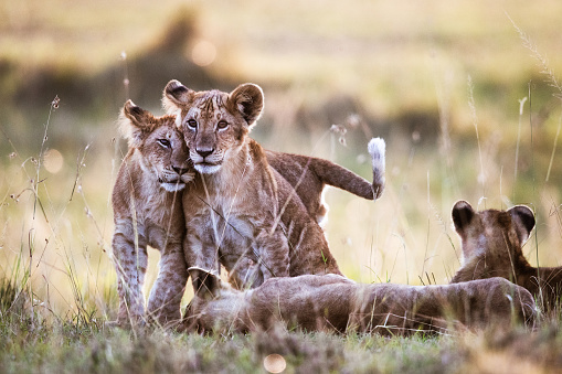 Affectionate lion cubs in nature.