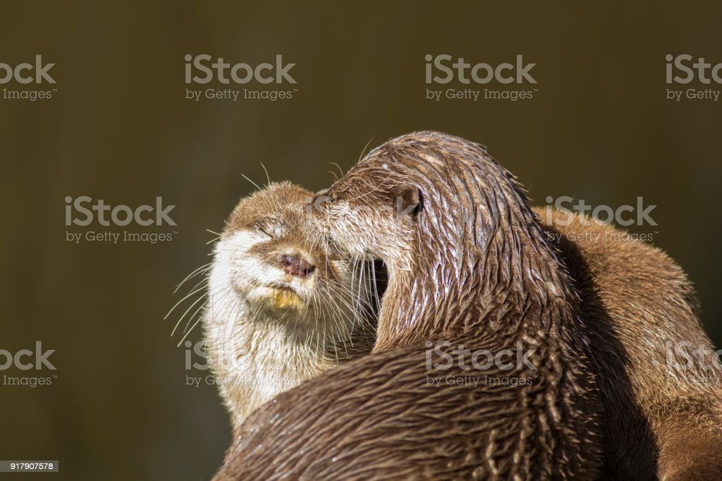 Affectionate otters. Cute wild animals bonding. Animal love and...
