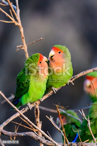 istock Affectionate Rosy faced lovebirds 894954816