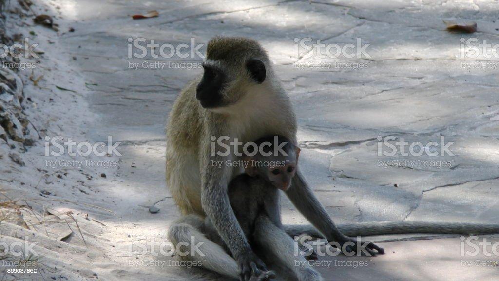 Affen Paviane stock photo