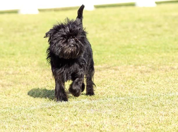Affenpinscher Hund – Foto