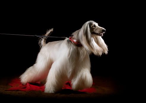 istock afghan dog indoors 149303643