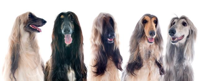 istock afghan dogs 179333390