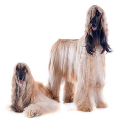 istock afghan dogs 477838089
