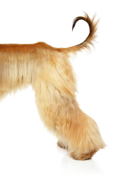 Afghan hound  back of body stock photo